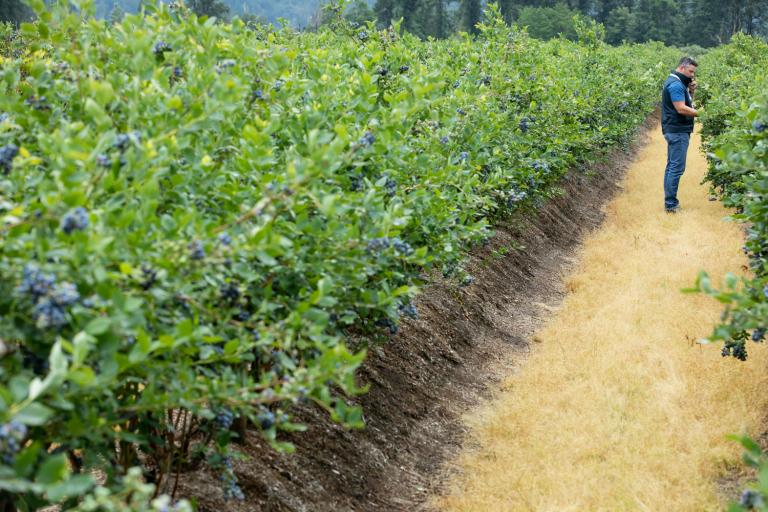 BC Blueberry Growers and Processors Remain Essential in BC's Food Supply Chain