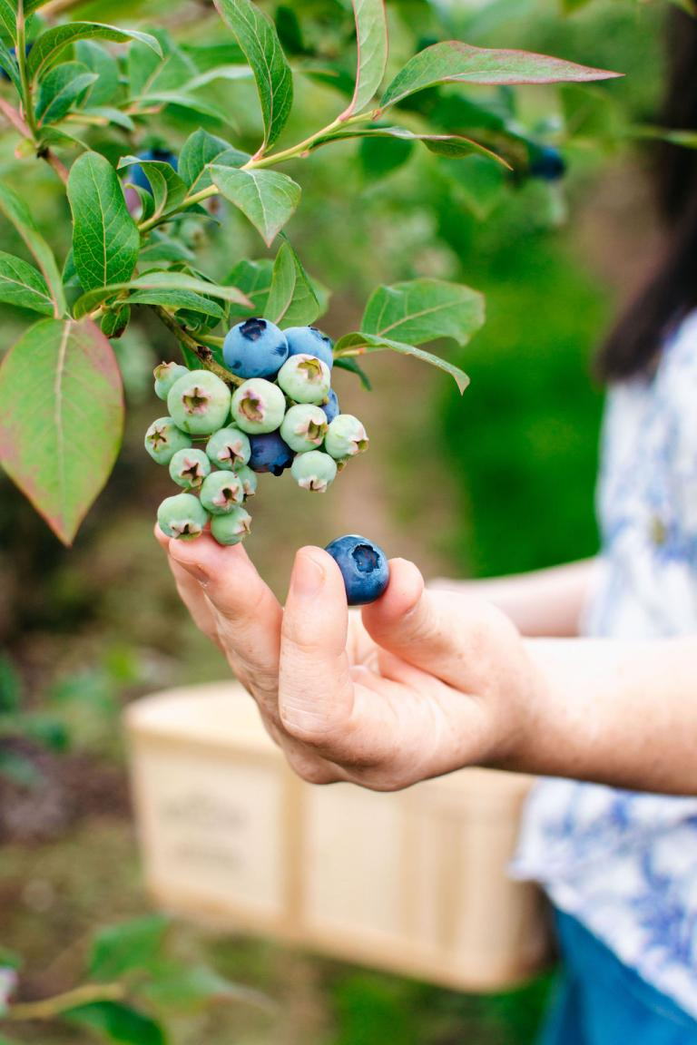 BC Blueberry Growers Release Outlook for 2020 Harvest