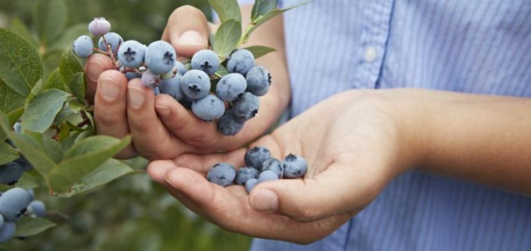 grower with handful of blueberries